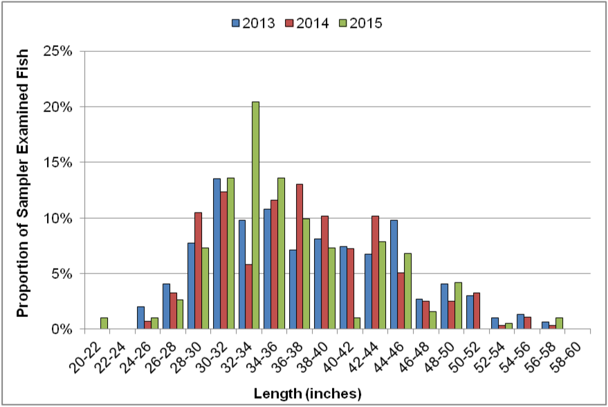 Figure 4. Lengths (inches) of sampler examined Pacific halibut by year from 2013-2015. Data are from CRFS.