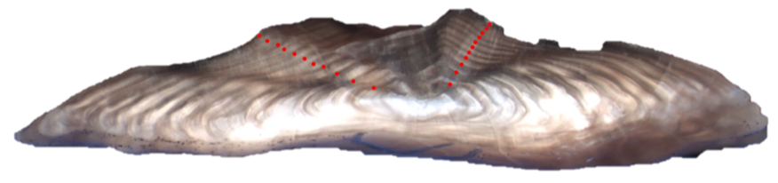 Figure 1. Otolith aged using break-and-bake method (11 years).