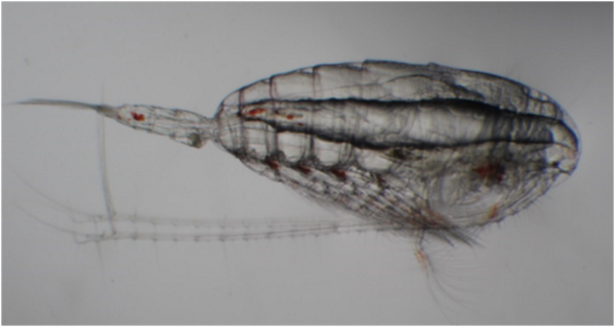 Cheeseburger Copepod
